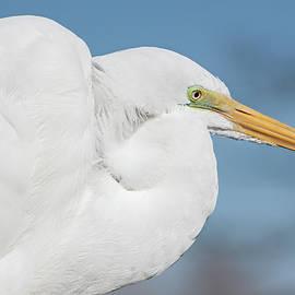 Egret Portrait by Dawn Currie