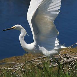 Snowy Egret Takes Flight by Mark Fuge