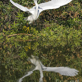 Egret Taking Off by Priscilla Burgers