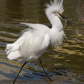 Egret with a Fish by Bruce Frye