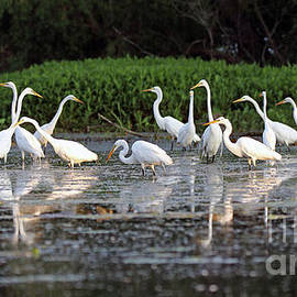 Steve Gass - Egrets I have A Few