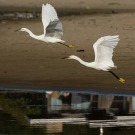 Bruce Frye - Egrets take Wing