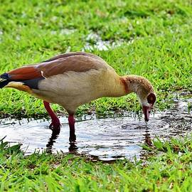 Egyptian Goose 1 by Linda Brody