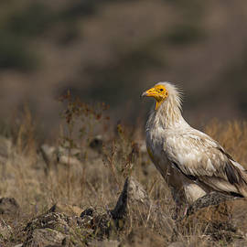 Veselin Gramatikov - Egyptian vulture