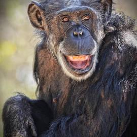 Jim Fitzpatrick - Elderly Chimp Enjoying the Warm Summer Afternoon