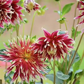 Lynn Bauer - Elegant Dahlias in the Garden