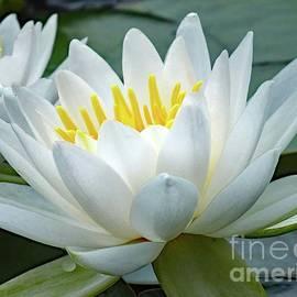 Cindy Treger - Elegant Lotus
