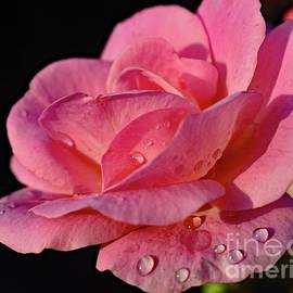 Elegant Peachy Knock Out Rose by Cindy Treger