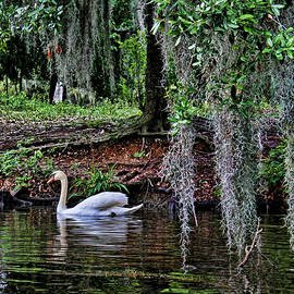 Elegant Swan by Judy Vincent