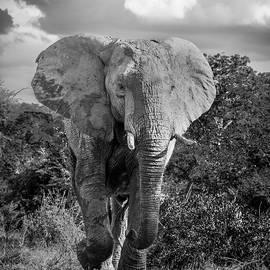 Elephant Encounter by Bob VonDrachek