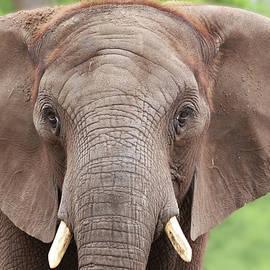 Elephant by Tazi Brown