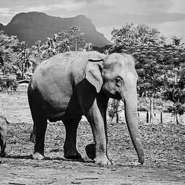 Svetlana Yelkovan - Elephants - Follow the Mom. Black and white