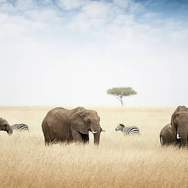 Elephants Grazing in Kenya Africa - Susan Schmitz