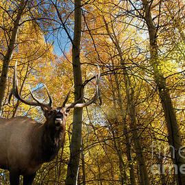 Wildlife Fine Art - Elk Calls of Autumn