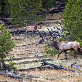 Elk In Yellowstone by Cindy Murphy - NightVisions