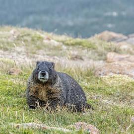 Cindi Alvarado - Yellow-bellied Marmot -Marmota flaviventris