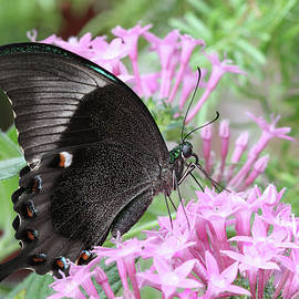 Emerald Peacock Swallowtail Butterfly #9 by Judy Whitton