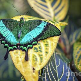 Gene Healy - Emerald Peacock