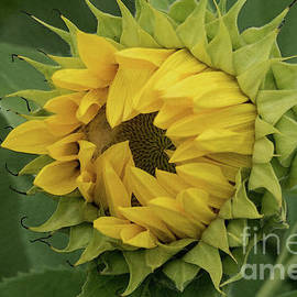Emergent Sunflower by Ann Horn