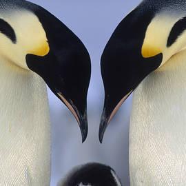 Emperor Penguin Family by Tui De Roy