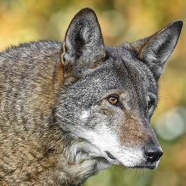 Wes and Dotty Weber - Endangered Red Wolf