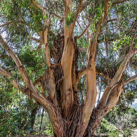 Old Eucalyptus  by David A Litman