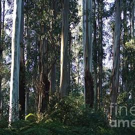 Joy Watson - Eucalyptus Trees and Beautiful Ferns