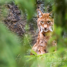 Eurasian lynx by Torbjorn Swenelius