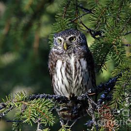 Mats Janson - Eurasian pygmy owl
