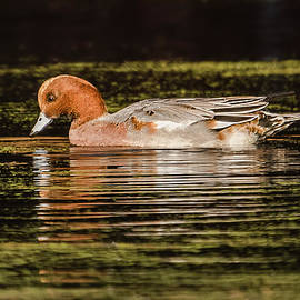 Morris Finkelstein - Eurasian Wigeon on a Pond in Autumn