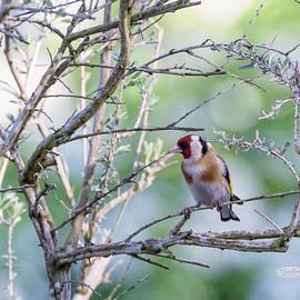 Elenarts - Elena Duvernay photo - European goldfinch, carduelis carduelis