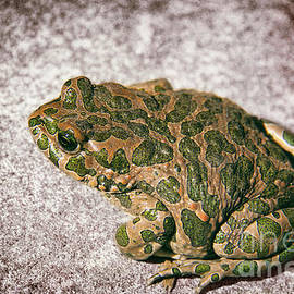Kasia Bitner - European Green Toad