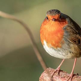 European robin by Darren Wilkes