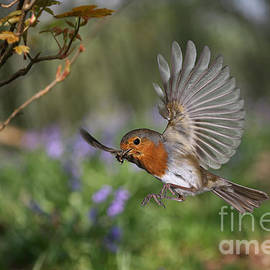 European Robin In Flight by Warren Photographic