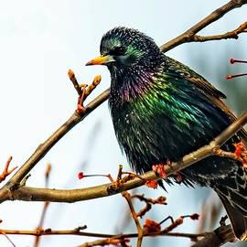 European Starling by Marcia Colelli