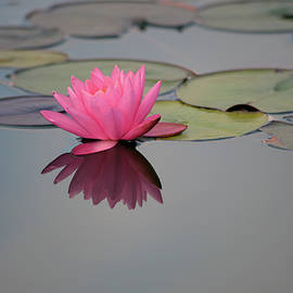 Pink nymphaeaceae, nymphae blooming water lily, lotus flower, with reflecting on the water at garden by Akos Horvath Decor