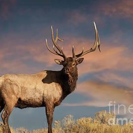 Wildlife Fine Art - Evening Bull Elk