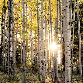 The Forests Edge Photography - Diane Sandoval - Evening In An Aspen Woods Vertical