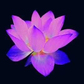 Evening Purple Lotus  by David Dehner