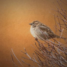 Sharon McConnell - Evening Sparrow Song