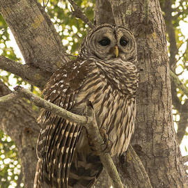 Everglades Owl  by Tracy Knauer