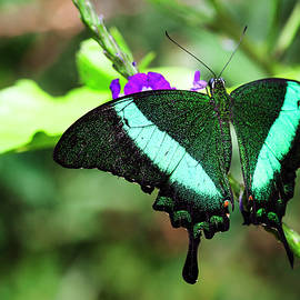 Exotic Emerald Swallowtail  by Ruth Jolly