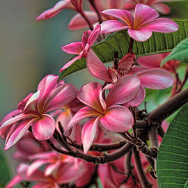 HH Photography of Florida - Exotic Pink Plumeria