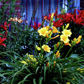 Steven Ward - Explosion of Color Lilies 2556 H_2