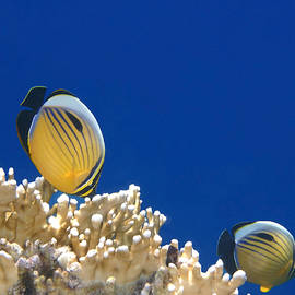 Johanna Hurmerinta - Exquisite Butterflyfish and Corals 3