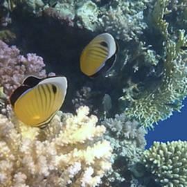 Exquisite Butterflyfish Panorama