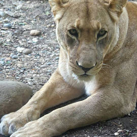 Eye Contact With The Lioness by Michelle Meenawong