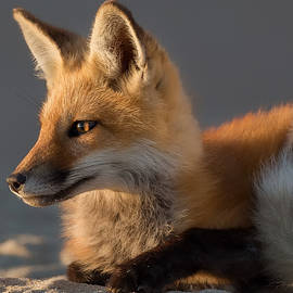 Bill Wakeley - Eye of the Fox