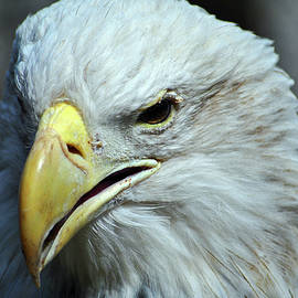 Face of a Bald Eagle by Tim Tanner