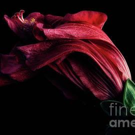 Faded Hibiscus by Ann Garrett